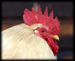 le coq by pagan-live-style