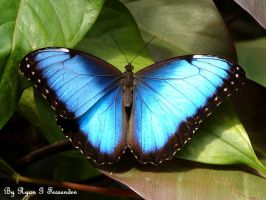 My Morpho by Fezzgator
