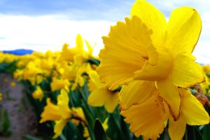 Daffodil Field Close-up by dsiegel