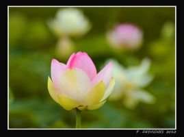 water lily by bracketting94