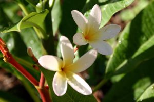Plumeria Rubra by mightee-mouse