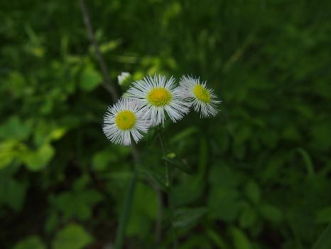 Wild Daisies by AllStock