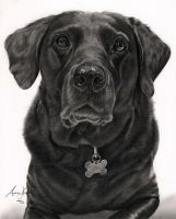 Commission - Black Labrador by Captured-In-Pencil