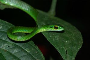 Golden-Eyed Parrot Snake by MonarchzMan