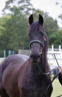 STOCK - Friesian Show 2012-13 by fillyrox