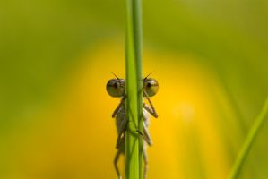 Hide n seek damselfly by AngiWallace