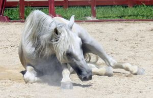 Andalusian Laying by roar-shack-stock
