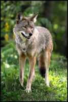 coyote 4 by RichardRobert