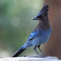 Steller's Jay Hanging Out by davidisinla