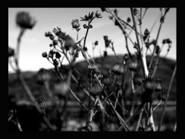 Dry Flowers by chuscli
