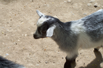 Little Goat by LuciaSeriin