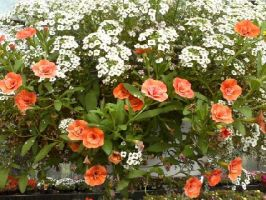 orange and white flowers by wittlecabbage