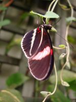 Brown and red Butterfly by SoulDragonWithFlow