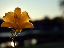 Backlit Flower by brandimillerart