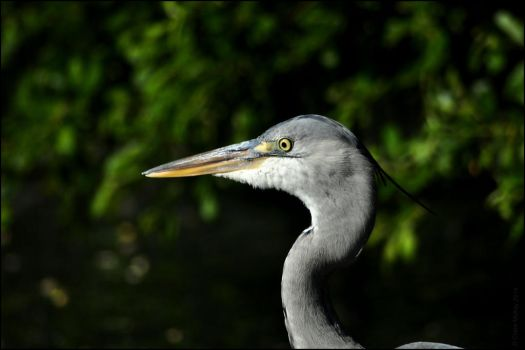 Juvenile Heron by Somebody-Somewhere