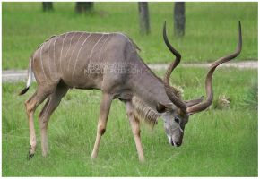 Grazing kudu by MonsterBrand