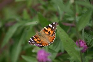 Monarch Butterfly 009 by MurfQ-Stock