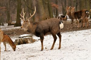 WSC deer stock 2 by windfuchs