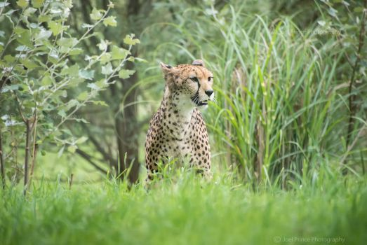 Cheetah 125-08-13 by Prince-Photography