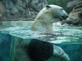 Polar Bear underwater 5 by SnowAngel-Stock