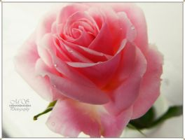 The symbol of the pink rose by moonik9