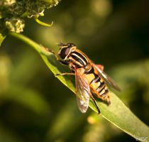 An hoverfly by MCL28
