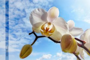 Orchidee by Rayon2lune