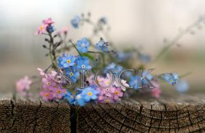 Forget-Me-Nots-1 by Evil-e33