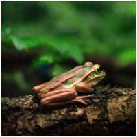 Green and Golden Bell Frog by GreenEyedHarpy
