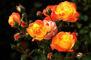 Red Hot Roses by EarthHart