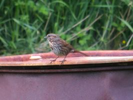 Song Sparrow 9 by jcdragonflies