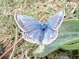 blue butterfly by Birchall96