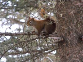Red Squirrel by TommyGK