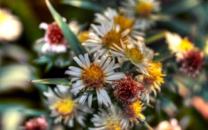 HDR flowers by c1p0