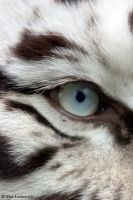 eye of the tiger by Yair-Leibovich