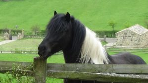 Black horse with white and black mane by Fran48