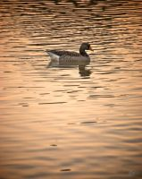 Greylag Goose by andy1349