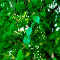 Black Chokecherry by blue-crystall