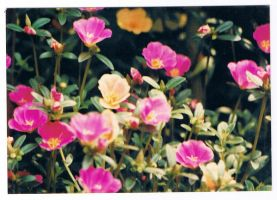 Vietnamese Roses by jhomz