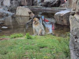 Serious Baboon is serious by Dxs4all