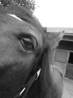 Horse looking into the camera2 by EmiiLly