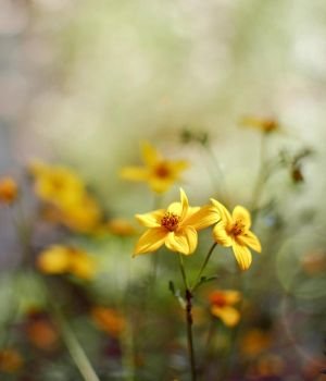 two yellows by MelanieMaterne