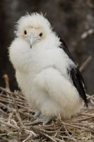 Frigate Chick On Nest 3 by AaronPlotkinPhoto