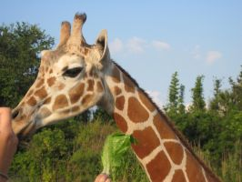 Stock: Giraffe 20 by equizotical