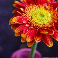 A burst of colours on the Gerbera 2 by FrancescaDelfino