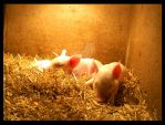 Pigies by Sato-photography