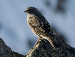January 8th Alpine Accentor by Taliesin-Neonblack