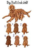 LVK's Irish Gold X Windhaven Big Red Litter by Lilac-Valley-Kennels