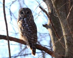 Barred Owl I by natureguy
