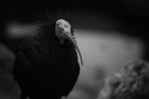 Northern Bald Ibis. by Ravenith
